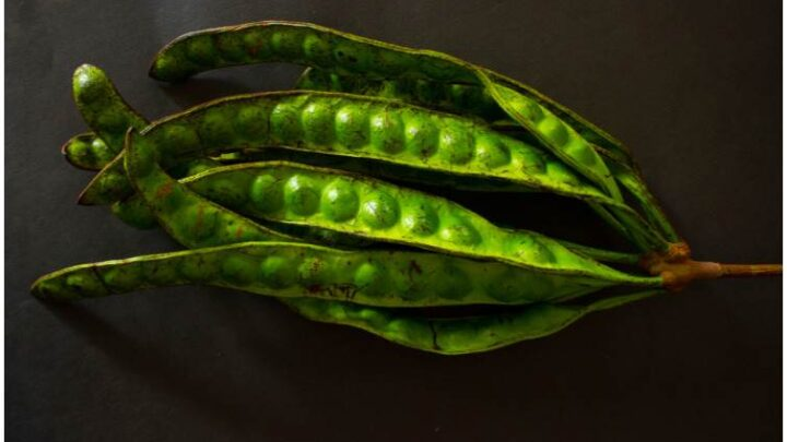Petai (Stink) Beans (Parkia Speciosa): Benefits, Nutrition Facts, Side Effects