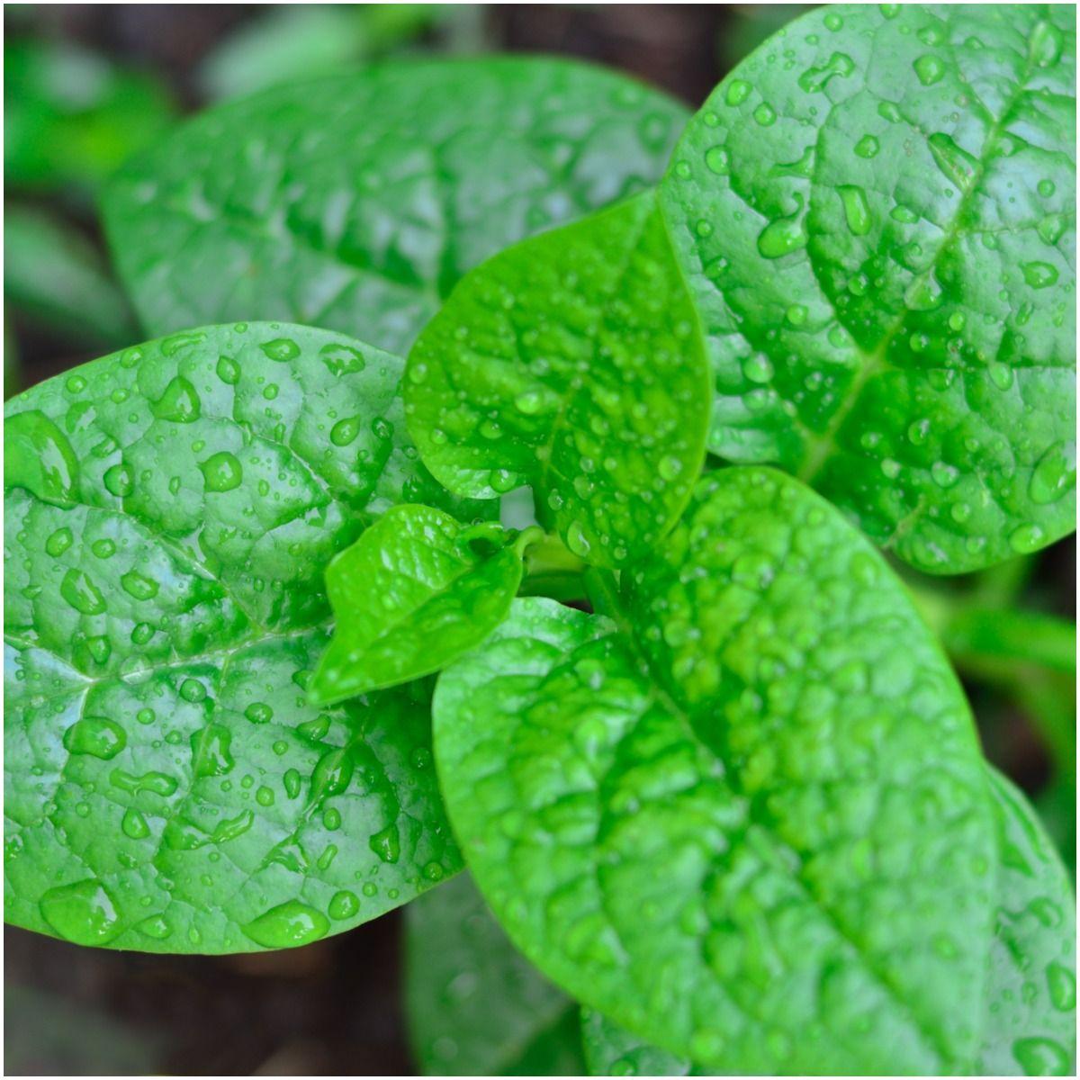 Malabar Spinach Side Effects