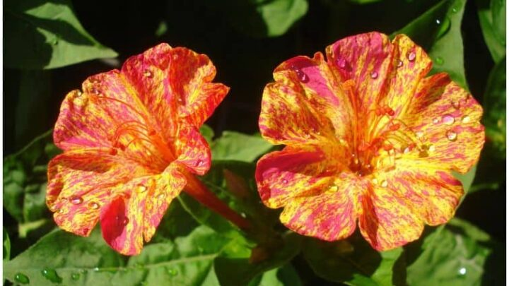 Mirabilis Jalapa (Four O'Clock | Marvel of Peru) – Medicinal Uses