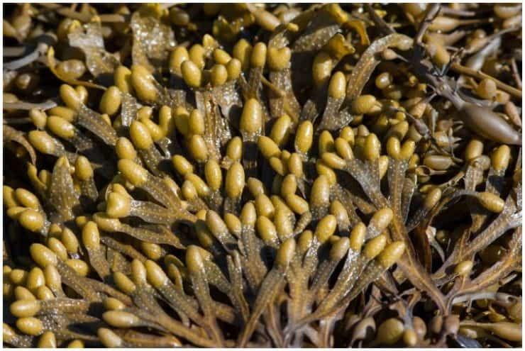 Phaeophyta (Brown Algae) – Interesting Facts, Side Effects, Life Cycle, Uses