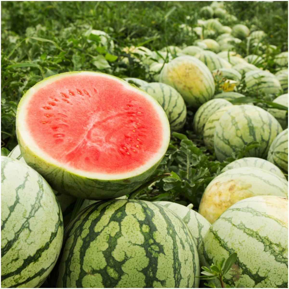 Forchlorfenuron In Watermelon